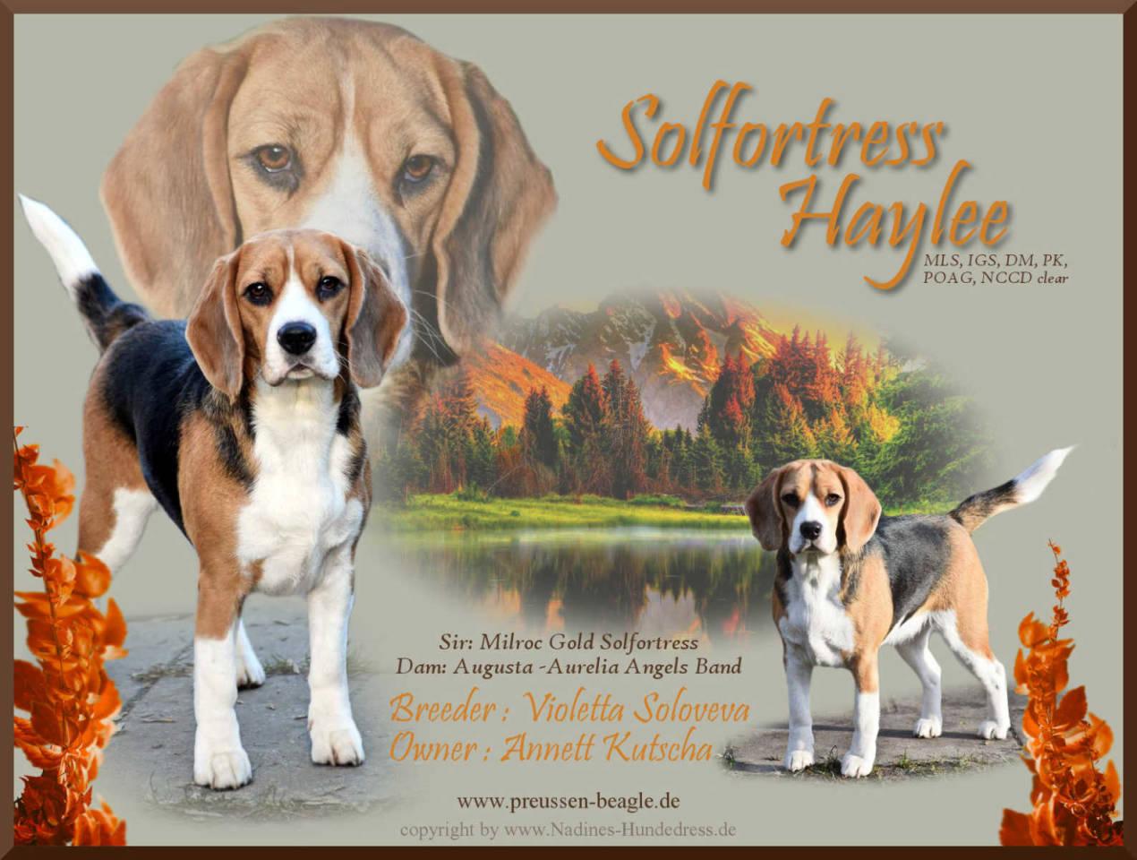 Beagle Solfortress Haylee Rüdenpräsentation