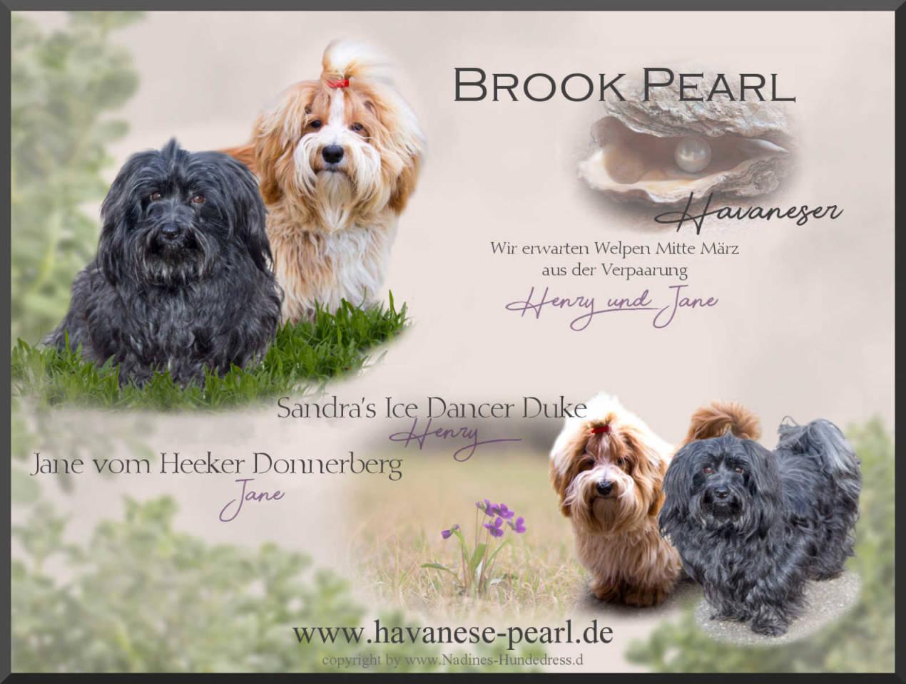 Brook Pearls Havaneser Zucht Wurfankündigung