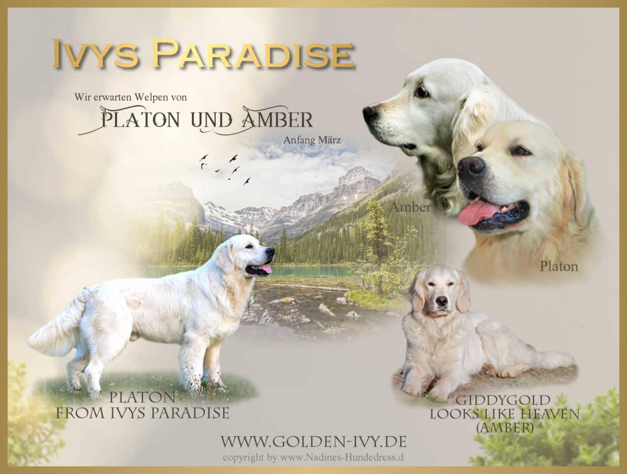 Ivys Paradise Golden Retriever Collage Wurfankündigung