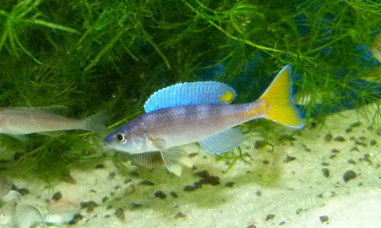 Cyprichromis Leptospma Utinta male